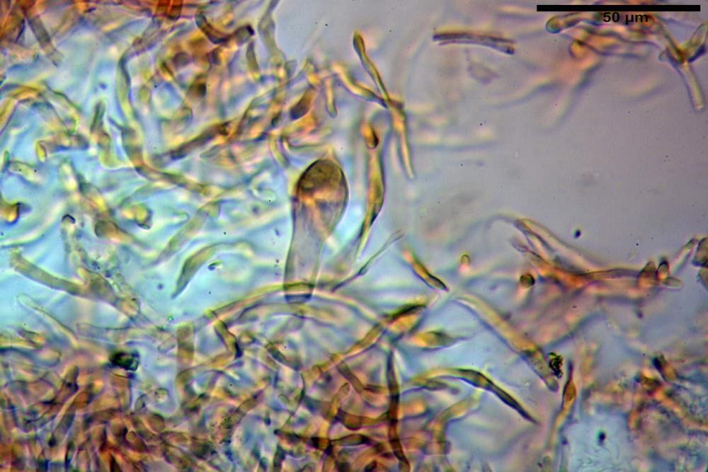 Russula graveolens 6800 17.jpg