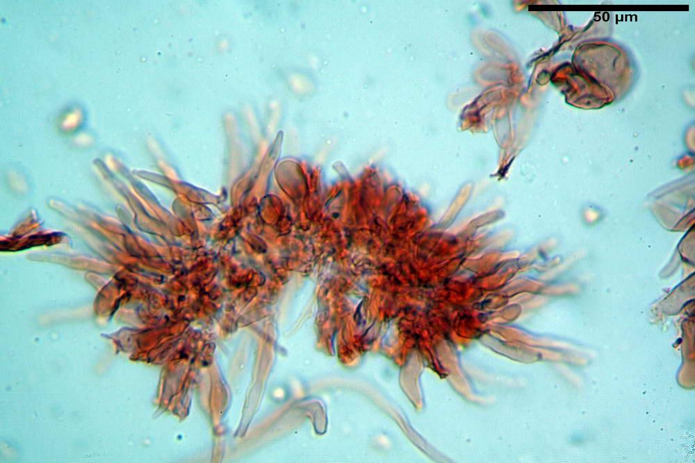 flammulaster carpophilus var carpophilus 4860 21_resize.jpg
