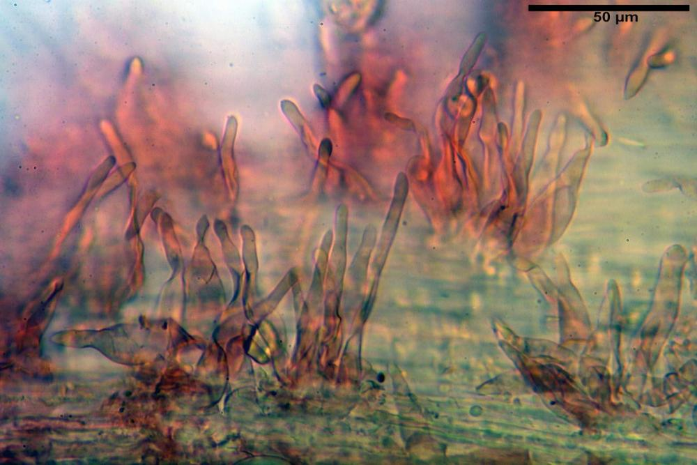 Mycenella bryophila var caesia caulocistidi.jpg