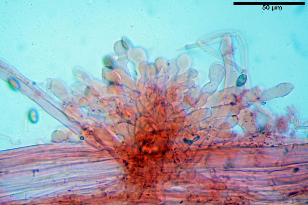 Pholiotina dasypus 7474 25.JPG