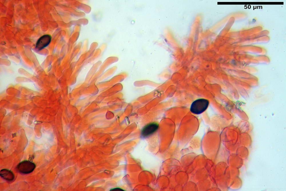 panaeolus papilionaceus var papilionaceus 5070 25.jpg