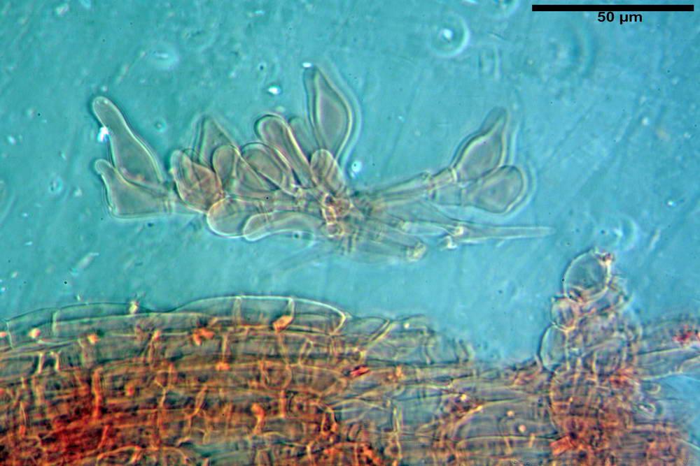 coprinopsis 51.jpg