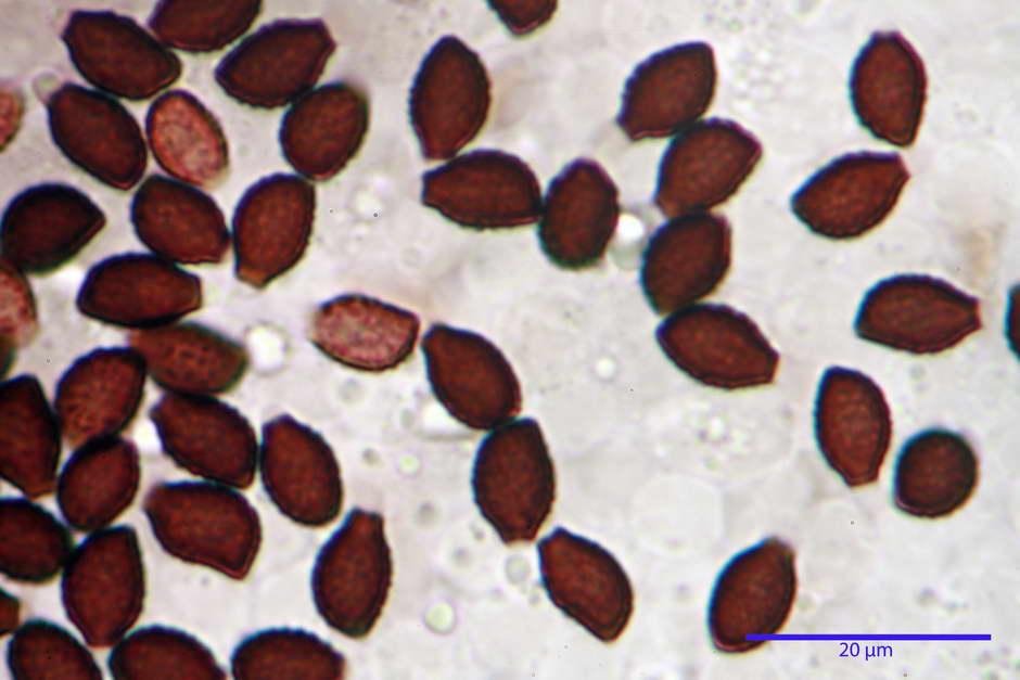 lacrymaria lacrymabunda 4754 61.jpg