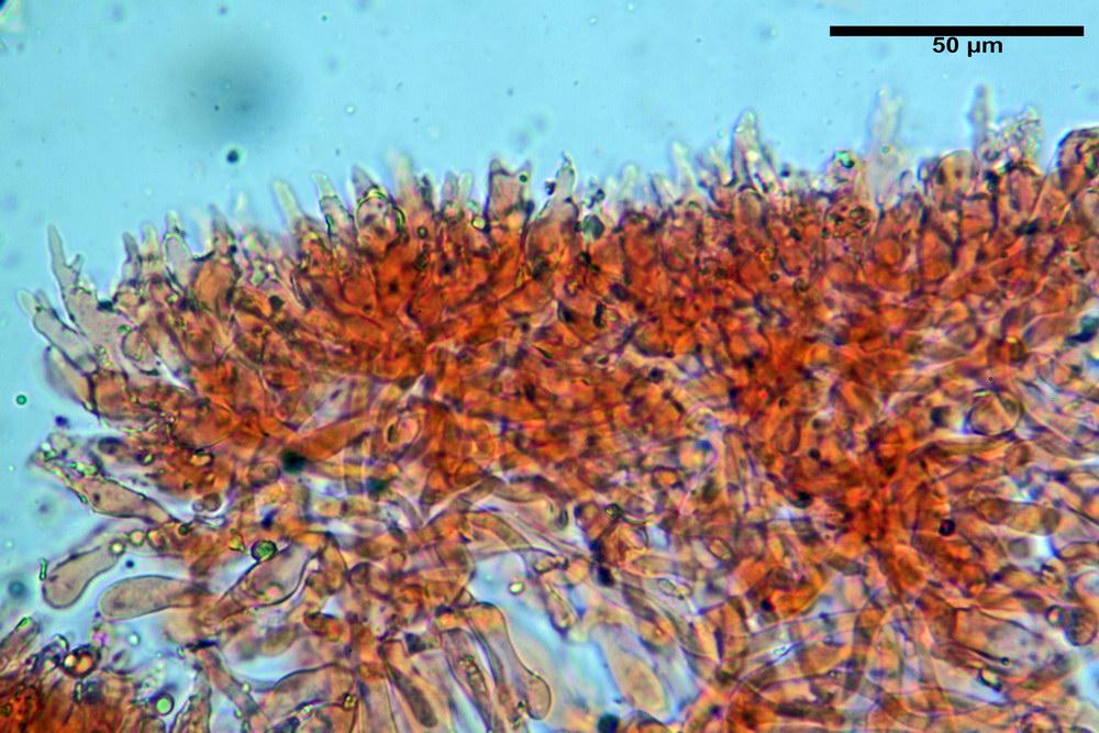 chaetocalathus craterellus 5169 19_resize.jpg