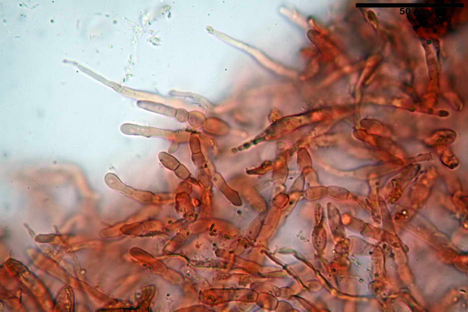 russula pseudoaeruginea 08.jpg