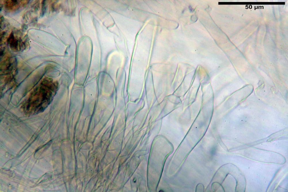 Inocybe flocculosa var crocifolia 7068 85.jpg