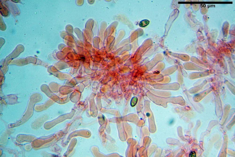 Pholiotina dasypus 7474 14.JPG