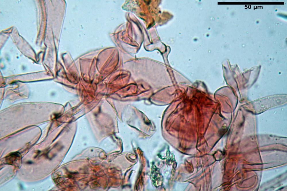 Psathyrella olympiana 18.jpg