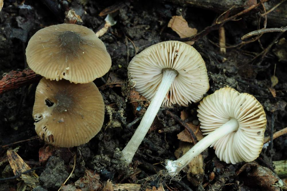 Pluteus thomsonii 6663 03.JPG