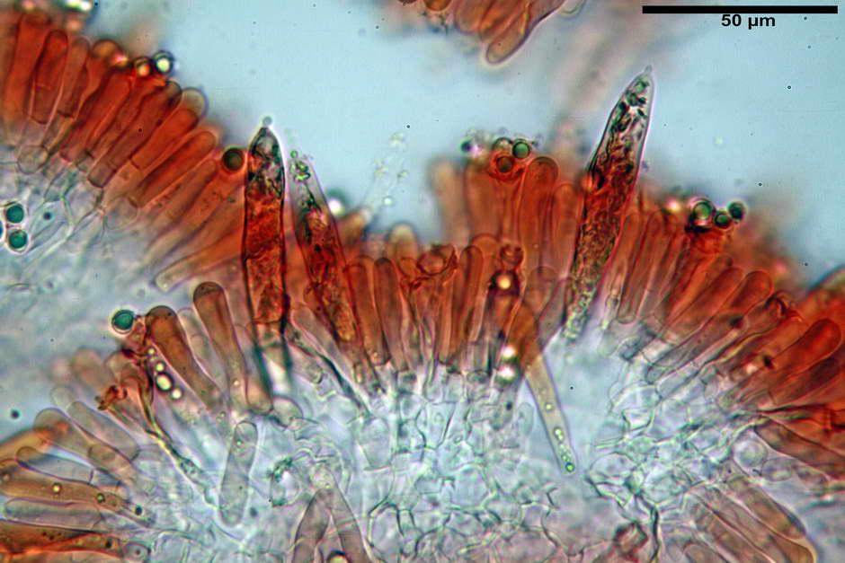 russula pseudoaeruginea 53.jpg