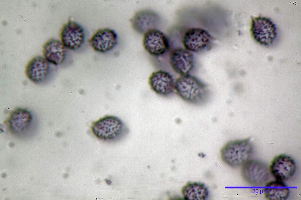 russula persicina 5139 33.jpg