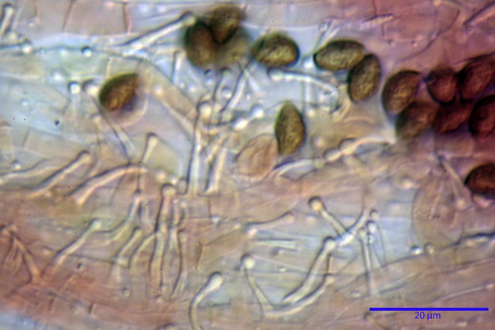 Phaeocollybia lugubris 6657 79.jpg