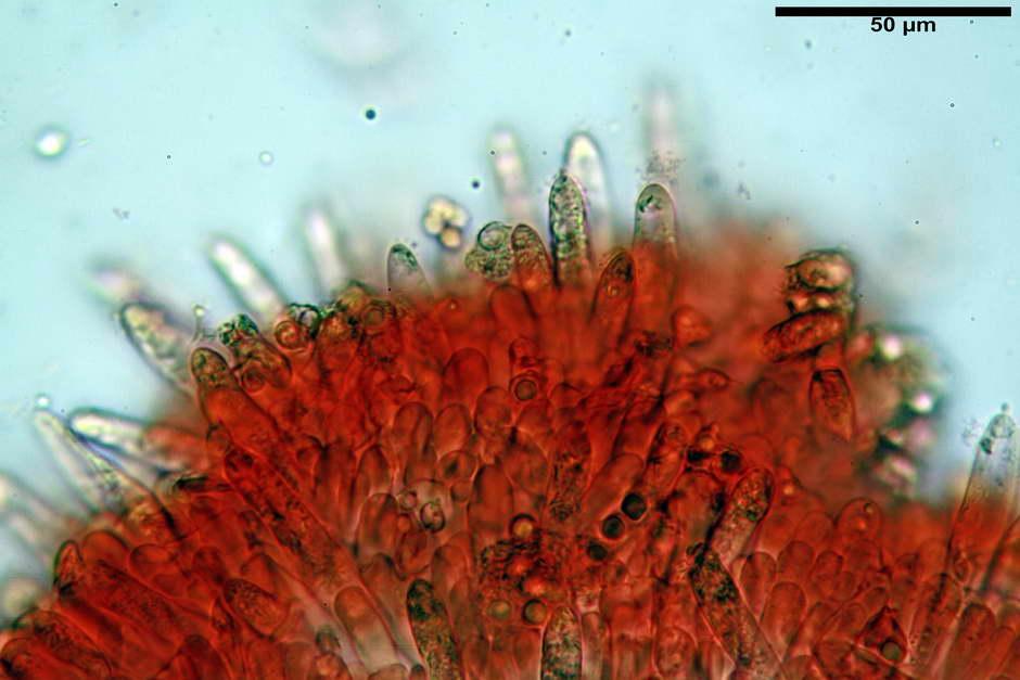 russula pseudoaeruginea 37.jpg