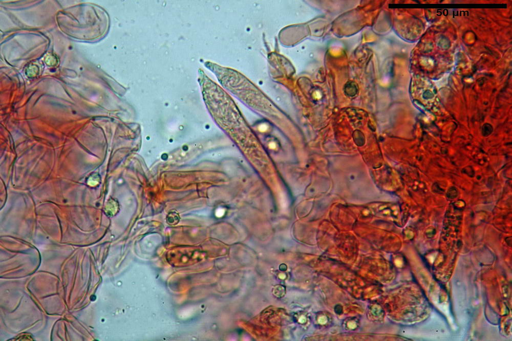 russula persicina 5139 15.jpg