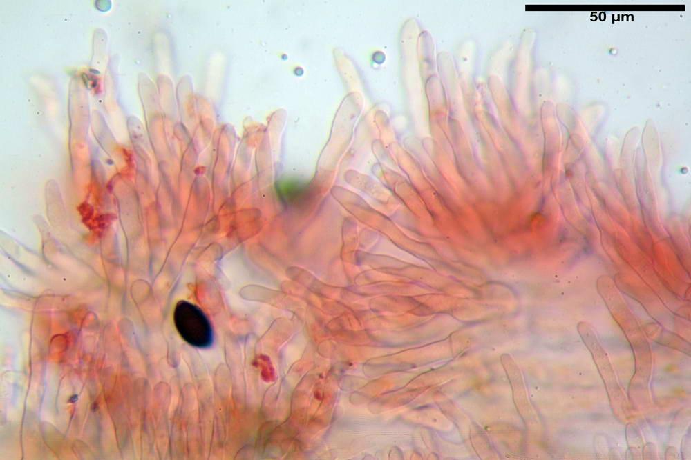 panaeolus papilionaceus var papilionaceus 5070 65.jpg