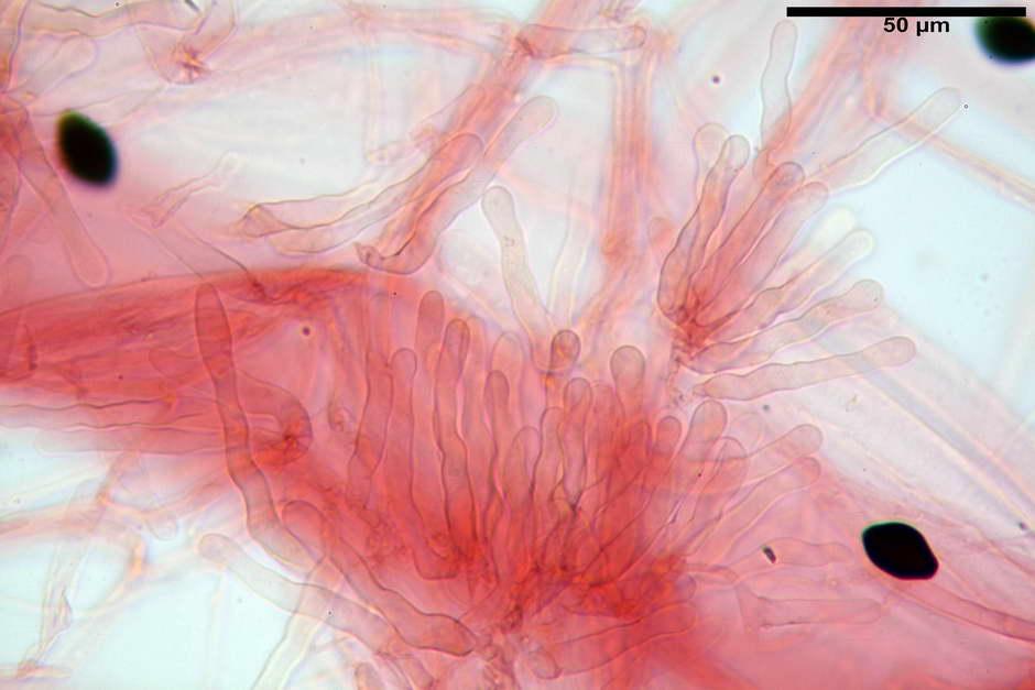 panaeolus papilionaceus var papilionaceus 4682 docx 63.jpg