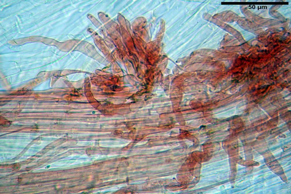 flammulaster carpophilus var carpophilus 4860 46_resize.jpg