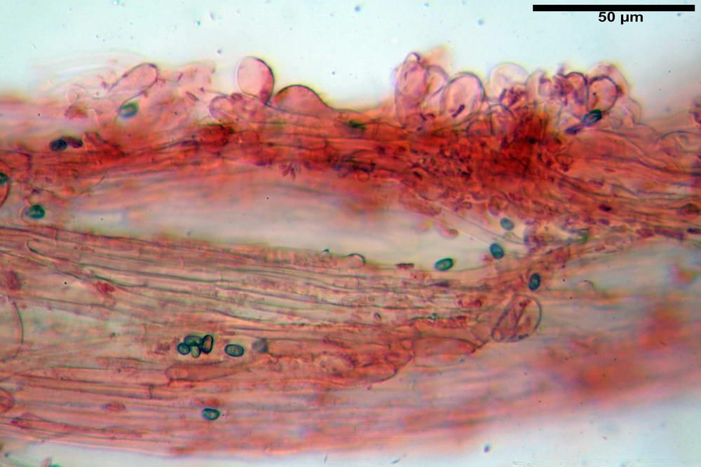 psathyrella hydrophila 51.jpg