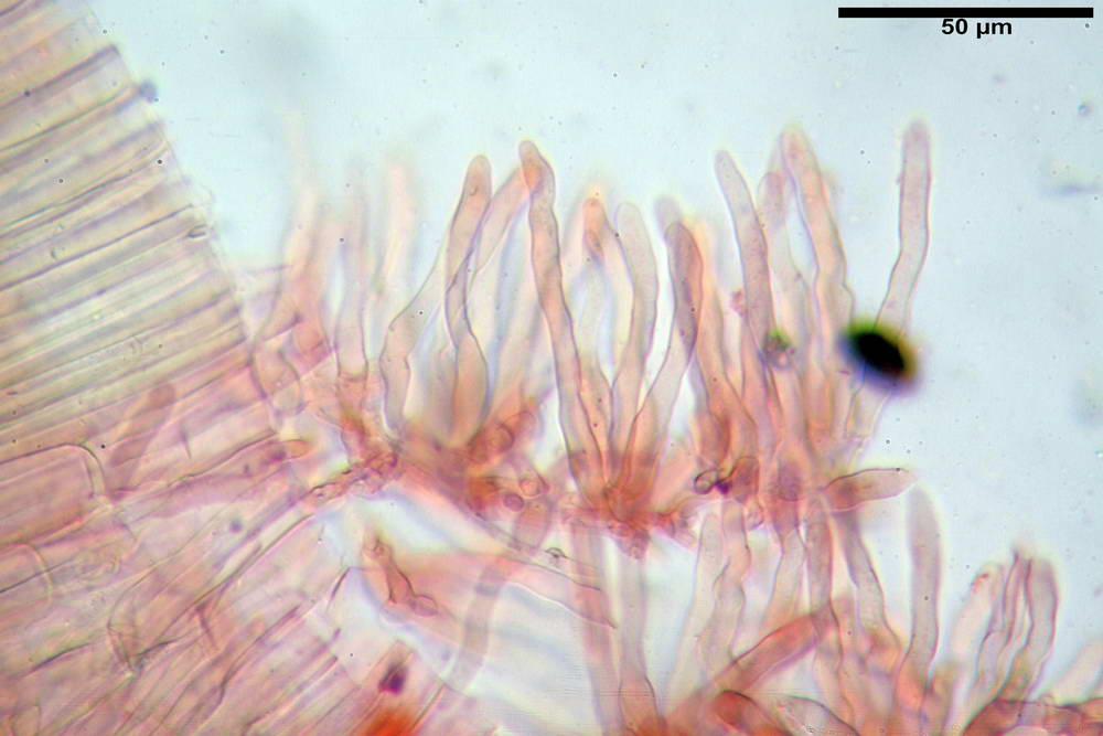 panaeolus papilionaceus var papilionaceus 5070 63.jpg