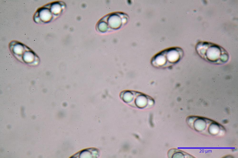 Podophacidium xanthomelum 7945 54_resize.JPG