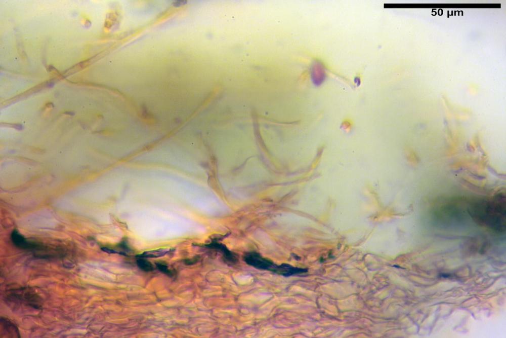 Hebeloma laterinum 5364 11.jpg