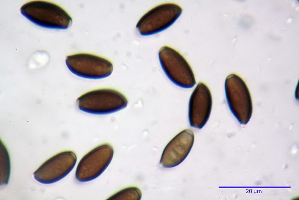 coprinopsis 40.jpg