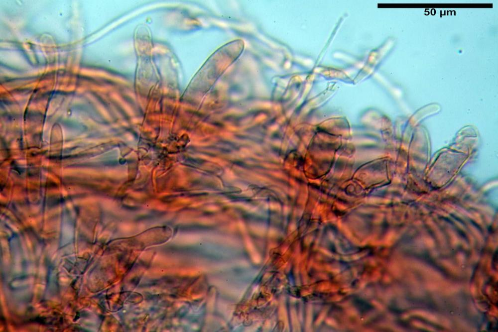 Hypholoma radicosum 6693 27.jpg