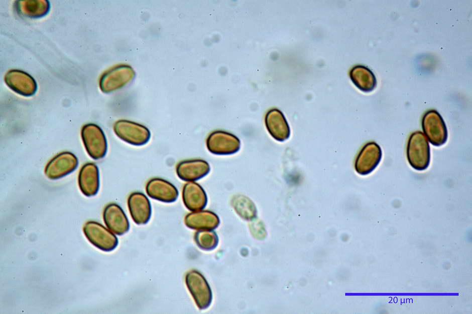 Pholiota conissans 4823 68.jpg