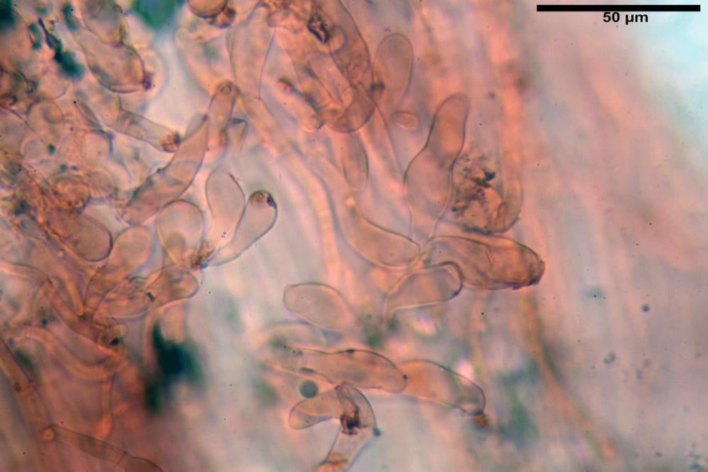 Bolbitius coprophilus 7464 45.JPG