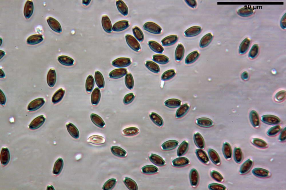 coprinopsis 36.jpg