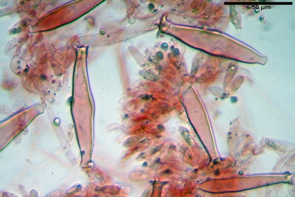 pluteus sandalioticus 49 .jpg