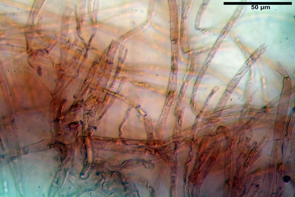 Phaeocollybia lugubris 6657 15.jpg
