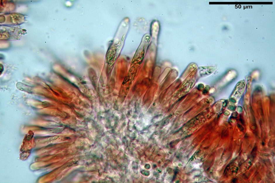 russula pseudoaeruginea 39.jpg