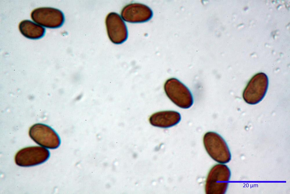 Psathyrella olympiana 48.jpg