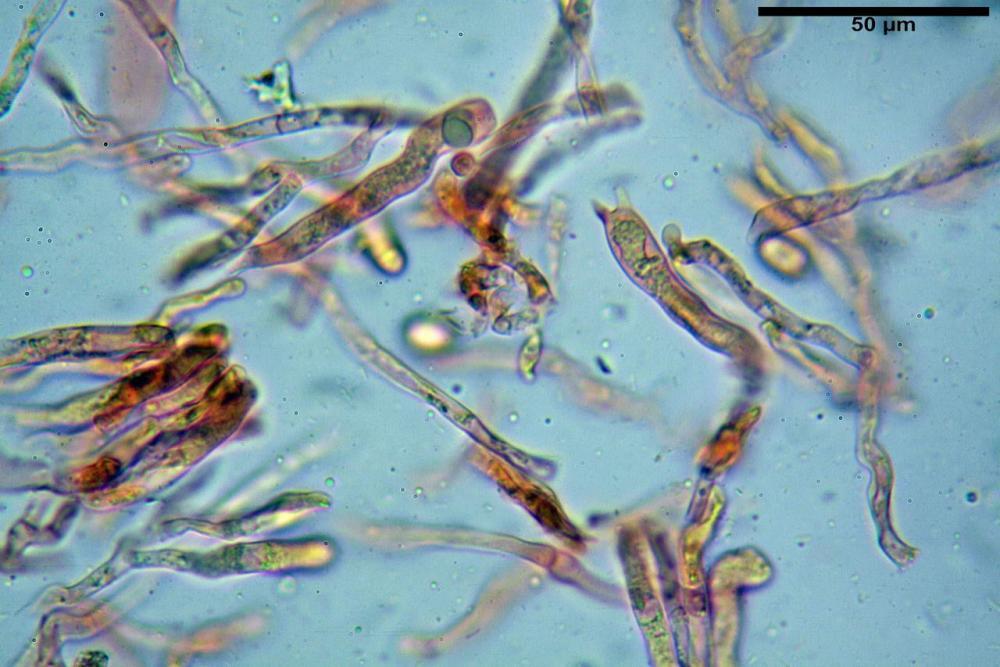Craterellus cornucopioides fo  lutea 06 _resize.JPG