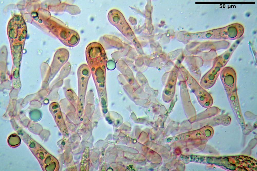 amanita ceciliae 34.jpg