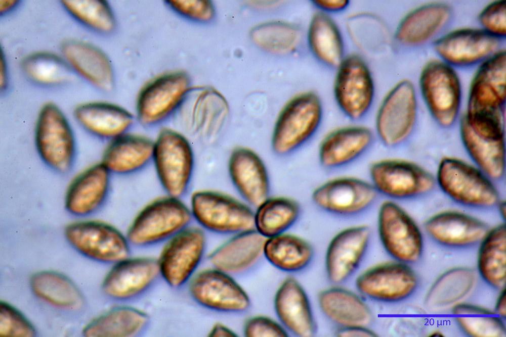 Hebeloma laterinum 5364 37.jpg
