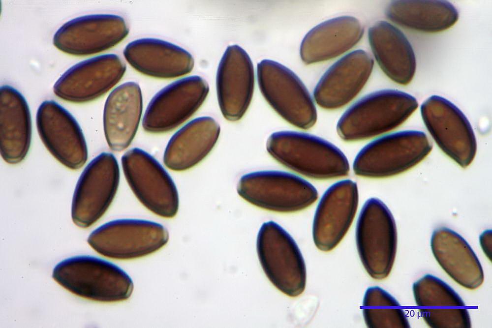 coprinopsis 41.jpg