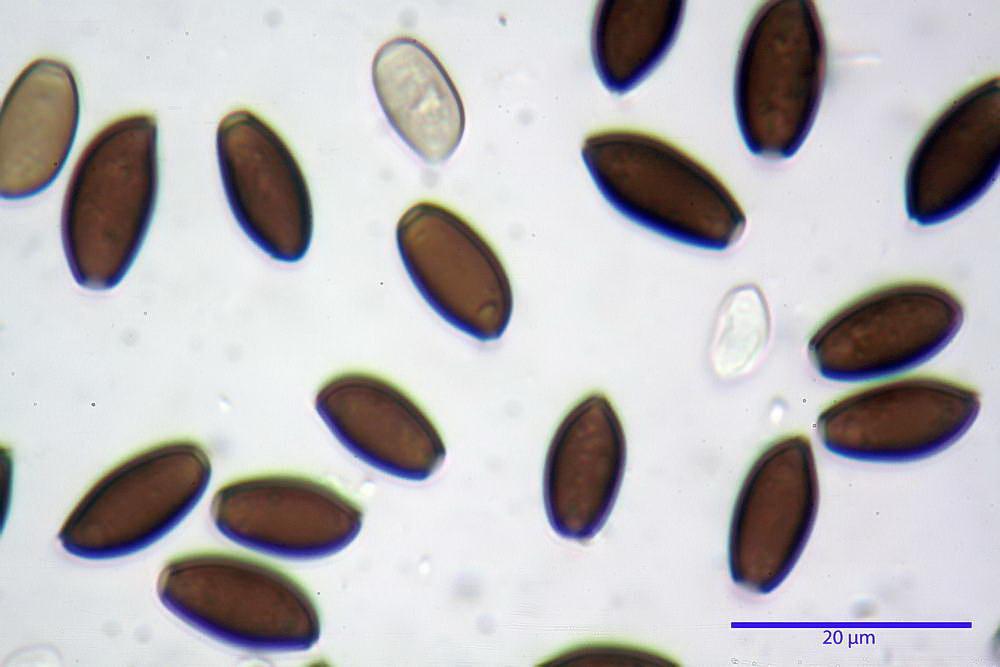 coprinopsis 37.jpg
