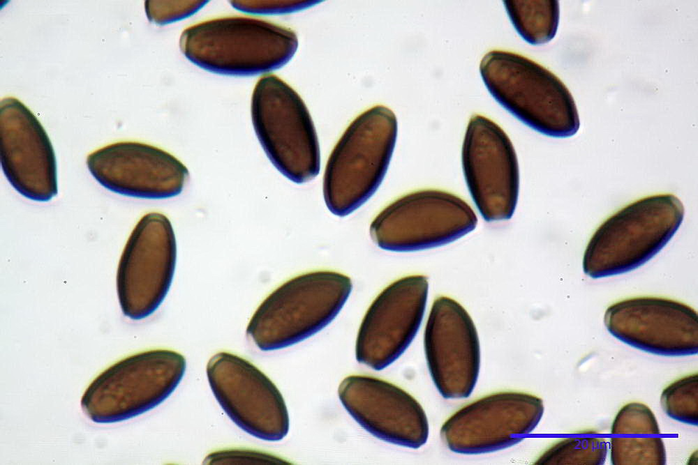 coprinopsis 42.jpg