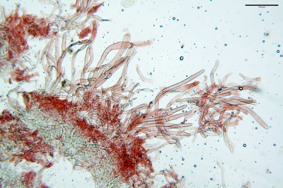 lepiota griseovirens 4598 06.jpg