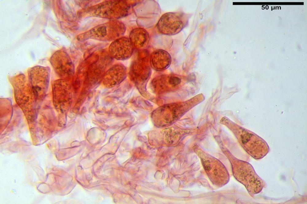 Coprinopsis picacea 6790 23.jpg