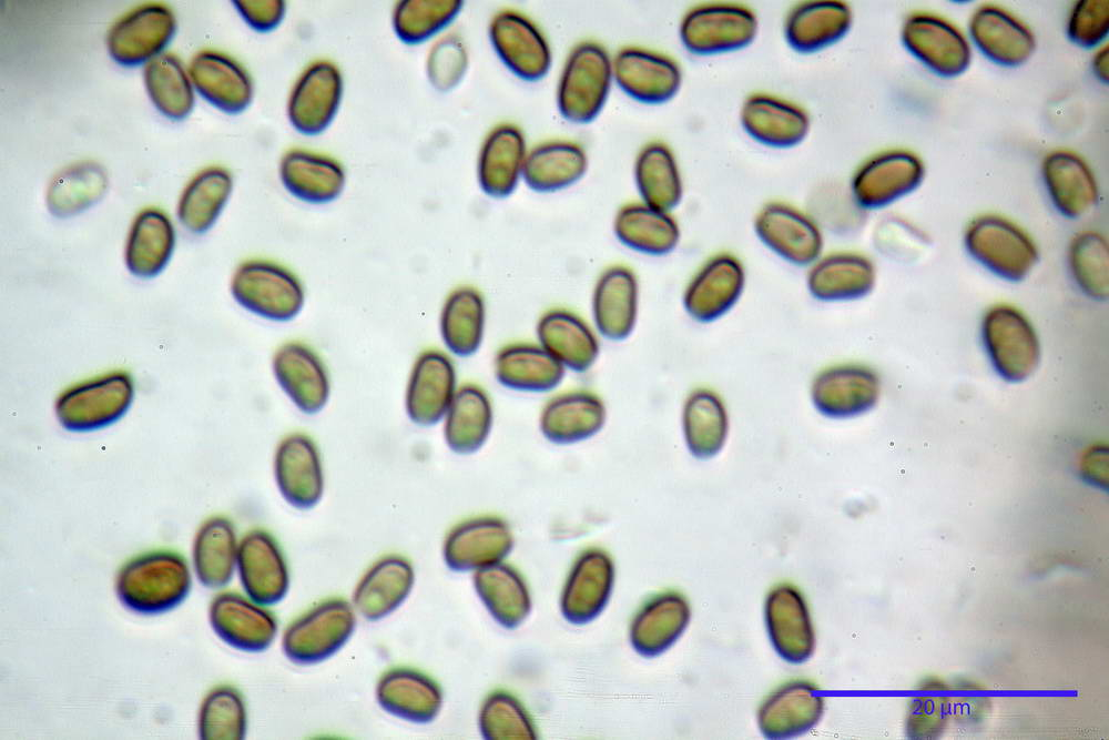 psathyrella hydrophila 35.jpg