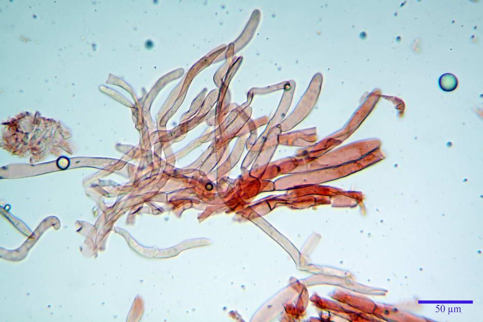 lepiota griseovirens 4598 10.jpg
