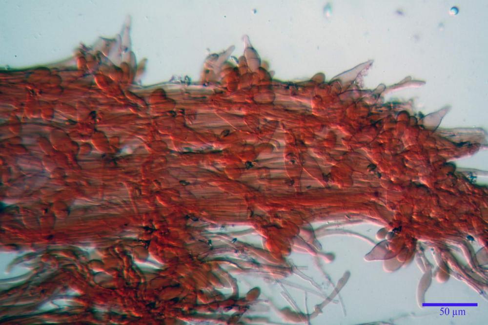 Inocybe phaeodisca var geophylloides 5226 35.jpg