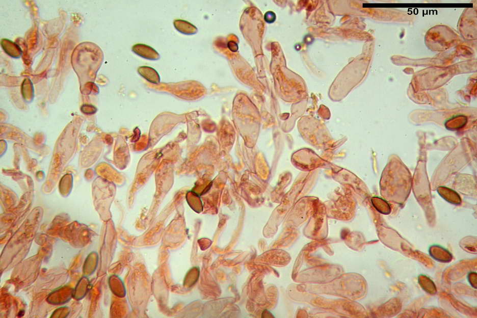 pholiotina nemoralis var nemoralis 4834 28.jpg