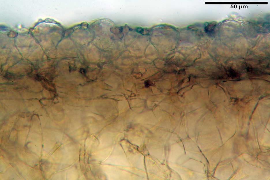 pholiotina nemoralis var nemoralis 4834 13.jpg