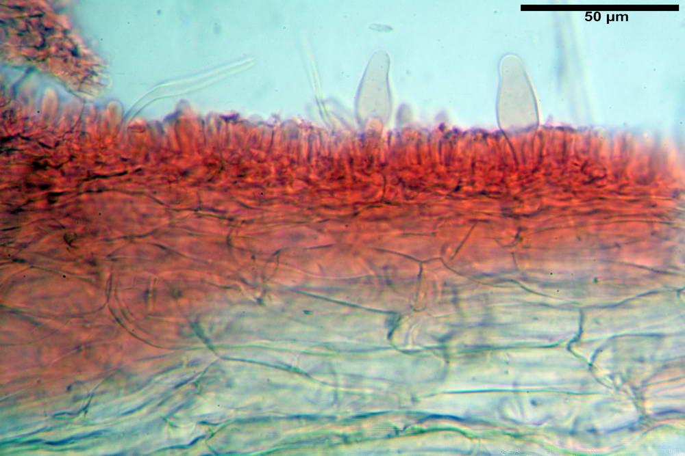 psathyrella hydrophila 33.jpg