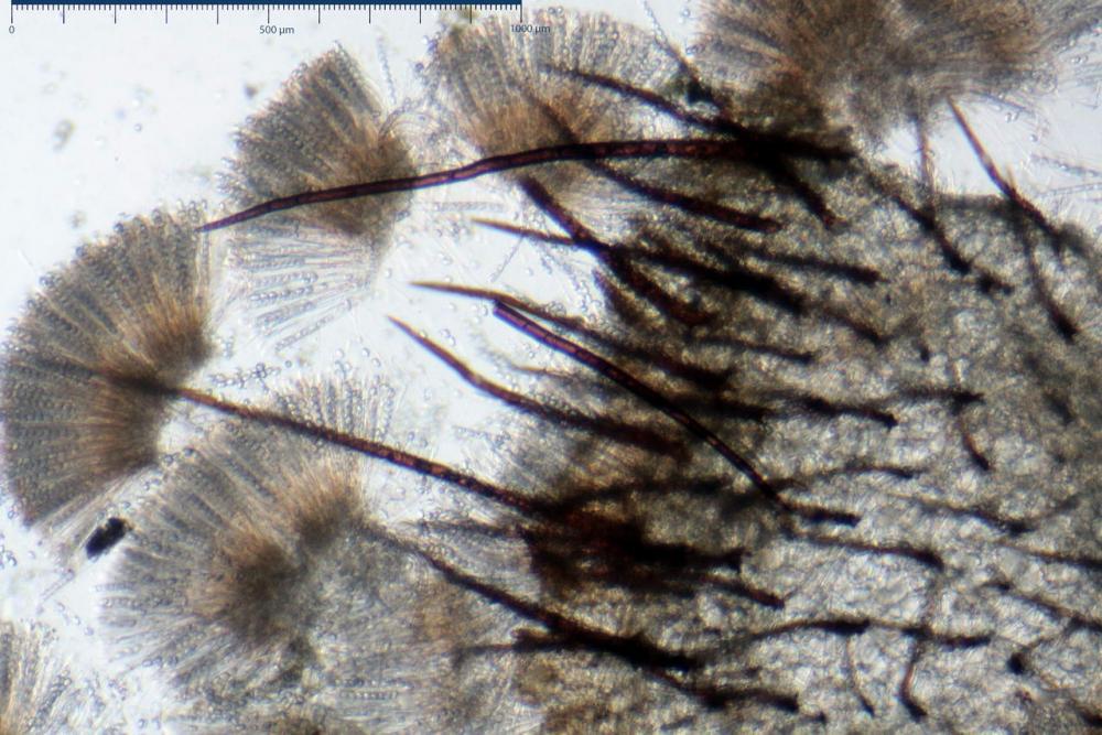 Scutellinia crinita 7493 21.jpg