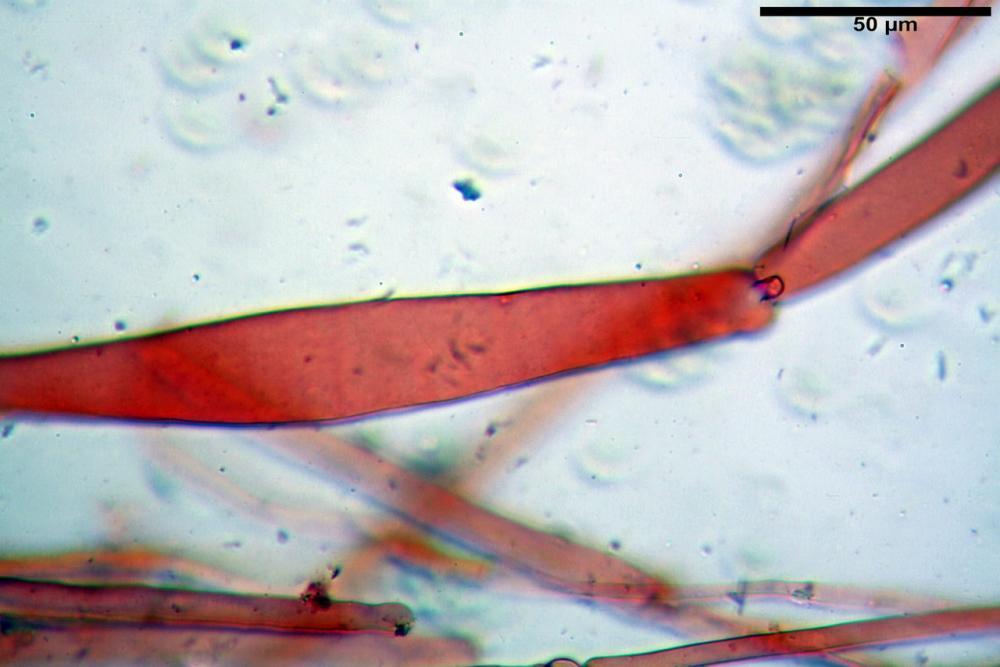 pluteus sandalioticus 18 .jpg